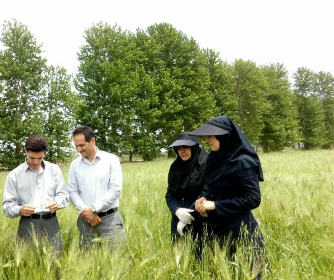 مدیر جهاد کشاورزی شهرستان شهریار از زمان مبارزه باآفت  سن غلات در شهرستان شهریار خبر داد