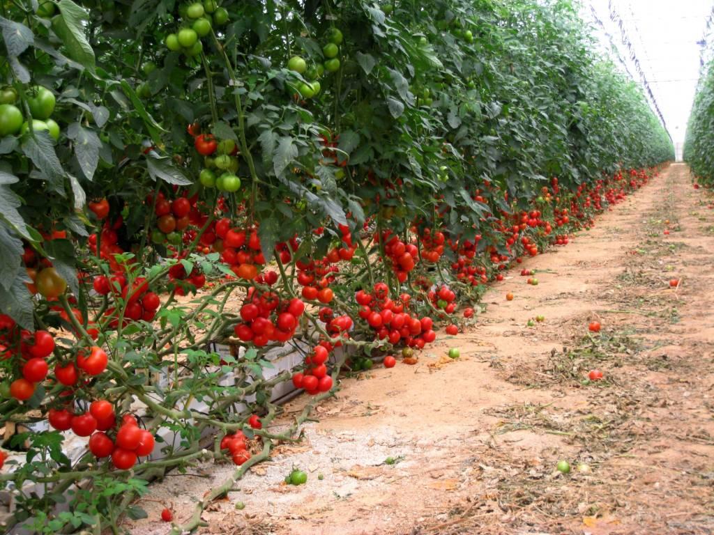 راه اندازی مجتمع گلخانه ای توسط فارغ التحصیلان بیکار کشاورزی در ملارد