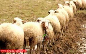 حاجیها نگران تامین گوسفند قربانی نباشند+ قیمتها