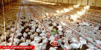 آیا مرغداری ها،دوباره شاهد شیوع آنفولانزایِ مرغی خواهند بود؟