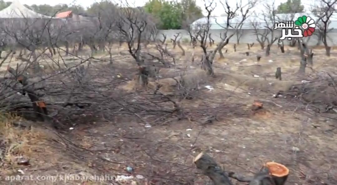گزارش خبرنگار خبرشهر از خشکاندن و قطع کردن درختان در بلوار کلهر شهریار یکی از پرتردد ترین معابر سطح شهر