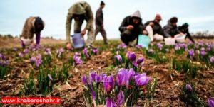 کشت زعفران در ۱۸۰ هکتار زمین در استان تهران
