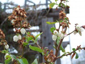 سرمازدگی به باغ های شهریار ۱۰۰۰ میلیارد خسارت زد