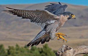 کشف 6 بهله پرنده شکاری از متخلفان در استان تهران