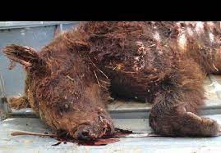 مرگ یک قلاده «خرس قهوهای» در فیروزکوه